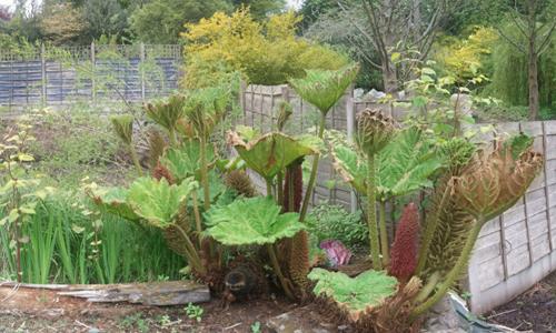 Gunnera Plant (Giant Rhubarb)
