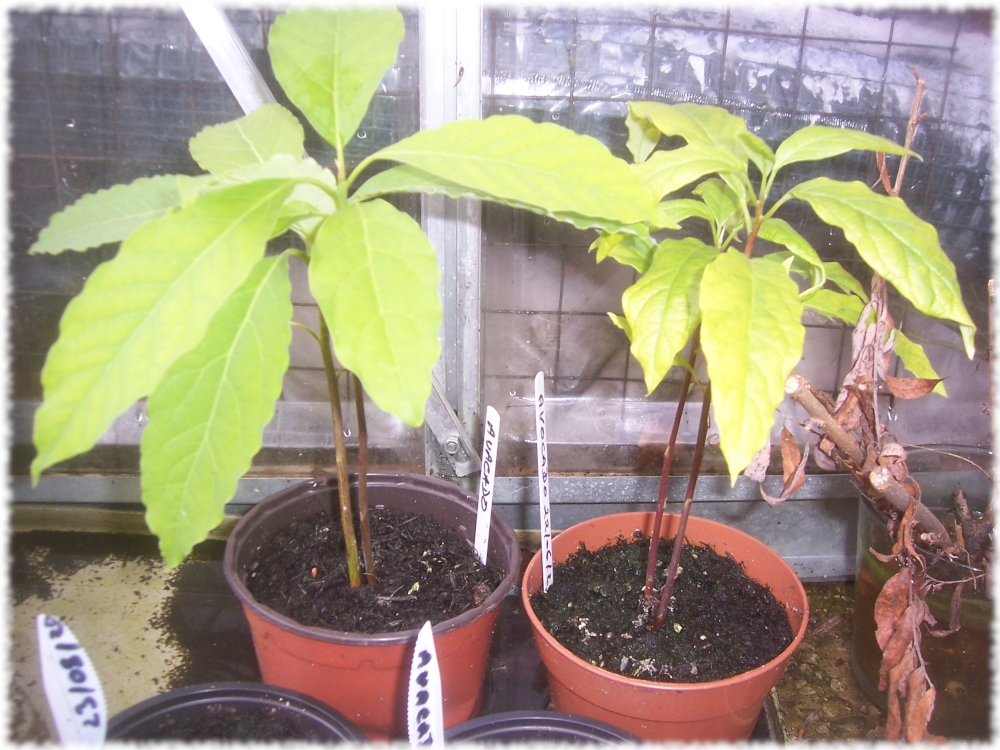 Home Grown Avocados on the grow in the castle yard greenhouse
